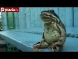 Рейтинг приколов: жаба-дачница и умелый кот