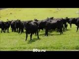 Маленькая машинка и коровы